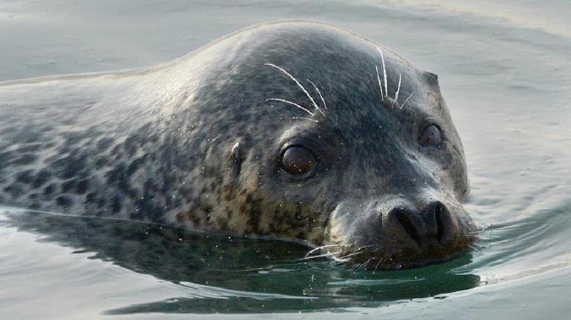 Тюлени покусали детей в Мангистауской области