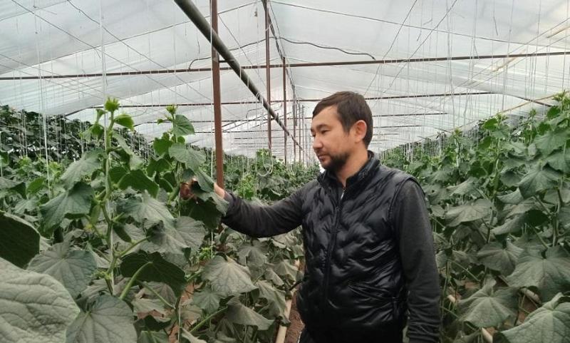 От огурцов к лимонам: предприниматель построил теплицу в селе Айтиево в ЗКО