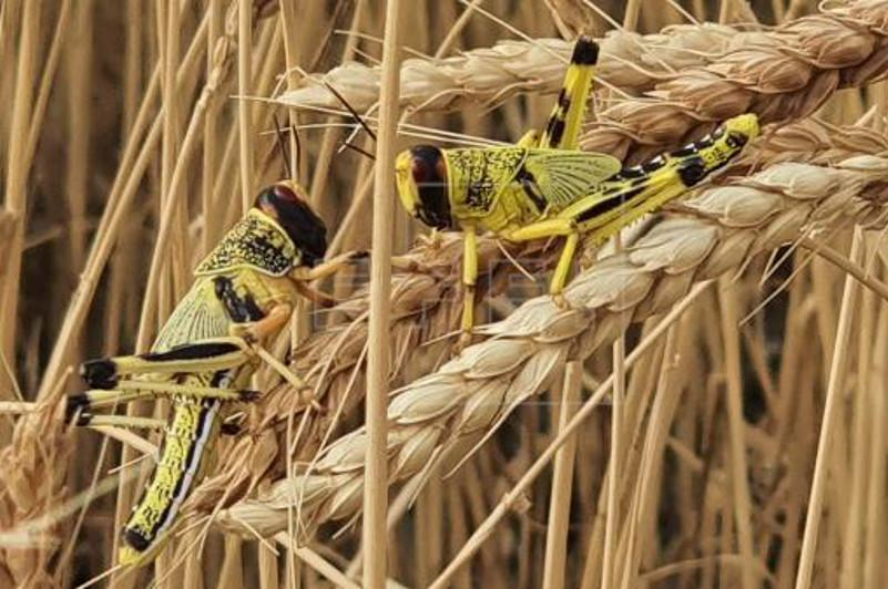 Locust swarms spotted in southern Nepal