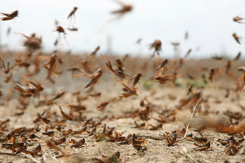 塔吉克斯坦哈特隆州遭受蝗灾侵袭
