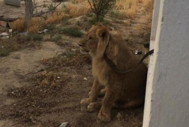 曾在阿克套街头«散步»的雄狮将前往阿拉木图定居