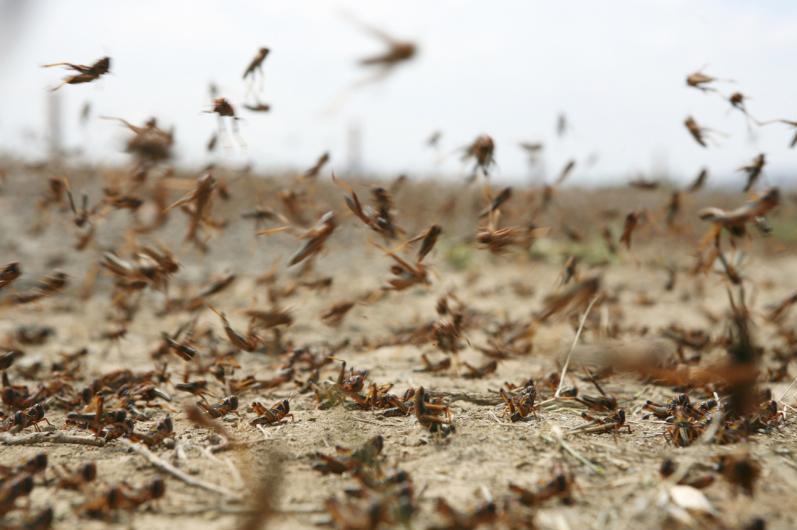 На борьбу с саранчой в Казахстане планируют выделить 1,5 млрд тенге