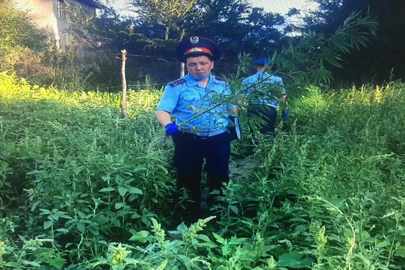 Almaty oblysynda esirtki plantatsııalary joıyldy