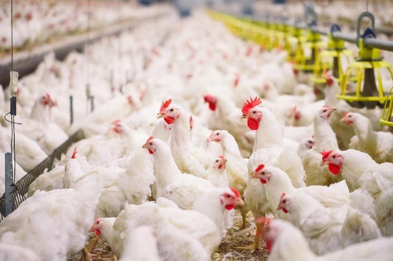 Бройлерную птицефабрику построят в СКО