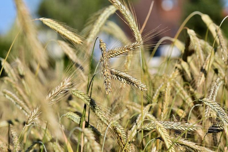 Состояние посевов пшеницы и масличных проверили в СКО