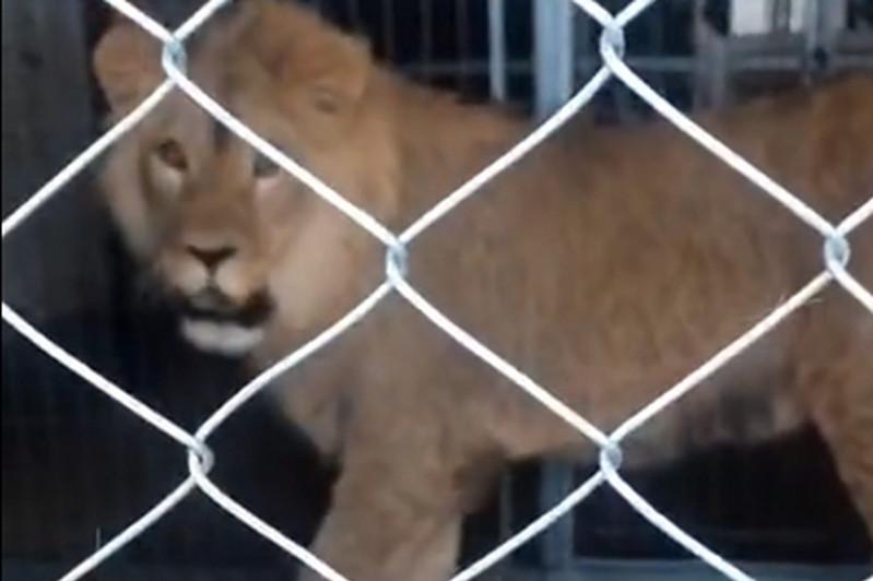 Льва Симбу из Актау увезут в алматинский зоопарк