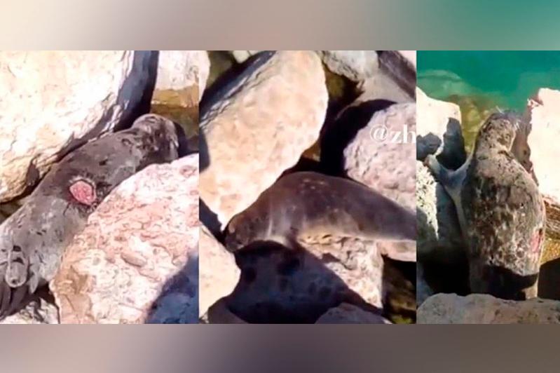 Создана «горячая линия» по раненым тюленям на Каспии - Минэкологии