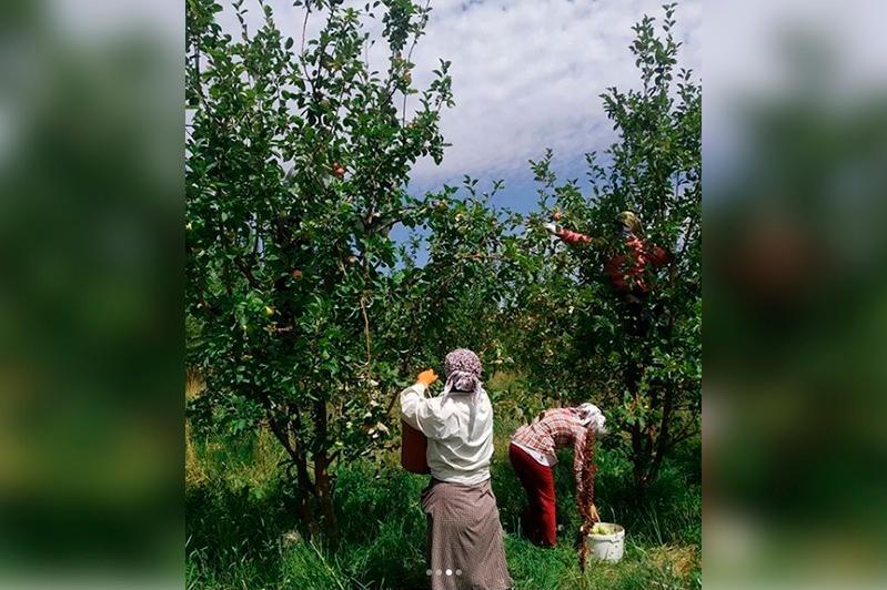 Рекордный урожай яблок планируют собрать в Тюлькубасском районе в этом году