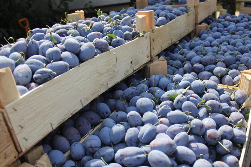В Казахстане запретили ввоз плодов сливы из Узбекистана
