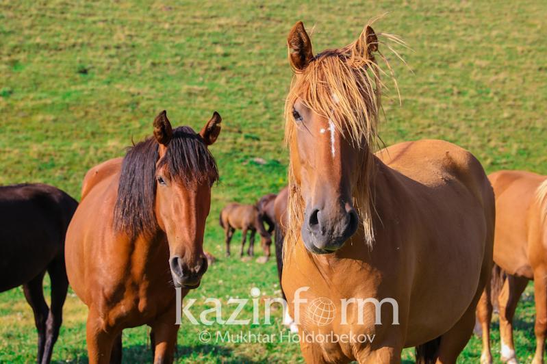 哈萨克斯坦上半年马匹存栏量增长8%