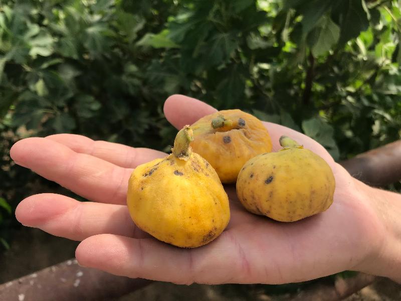 Первый урожай инжира собрал фермер в Атырау