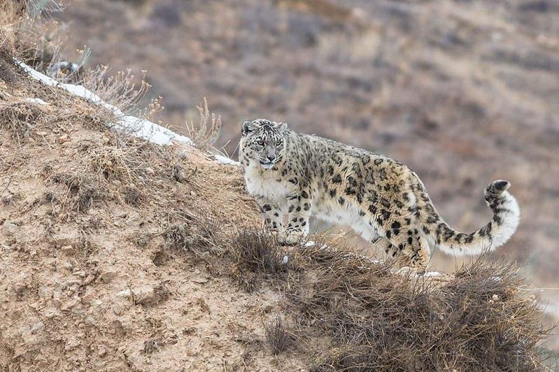 哈萨克斯坦正在实施保护雪豹的项目