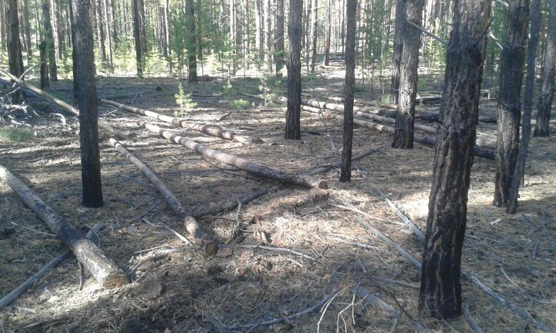 Более 30 сосен незаконно спилил в лесу житель ВКО