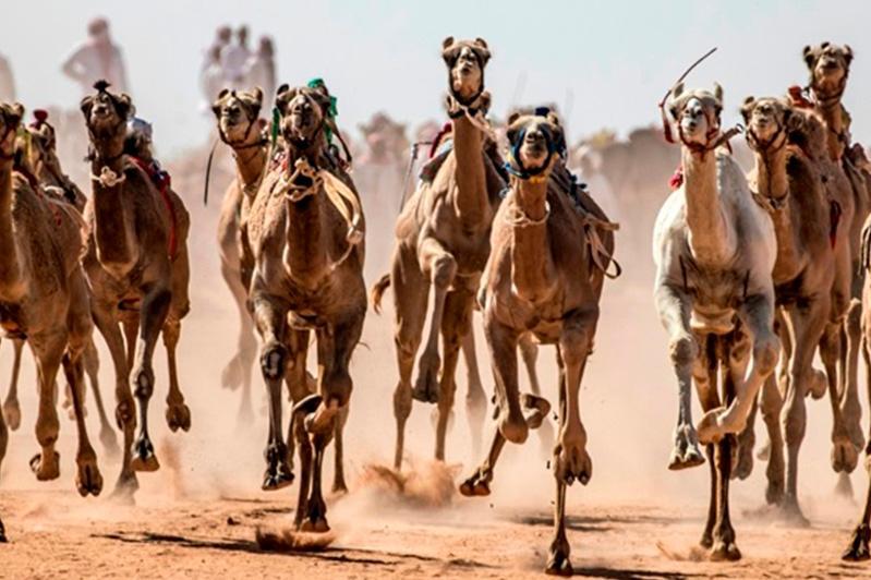 В Египет возвращаются верблюжьи бега