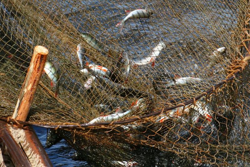 Из высыхающего водоема выловят всю рыбу в ВКО