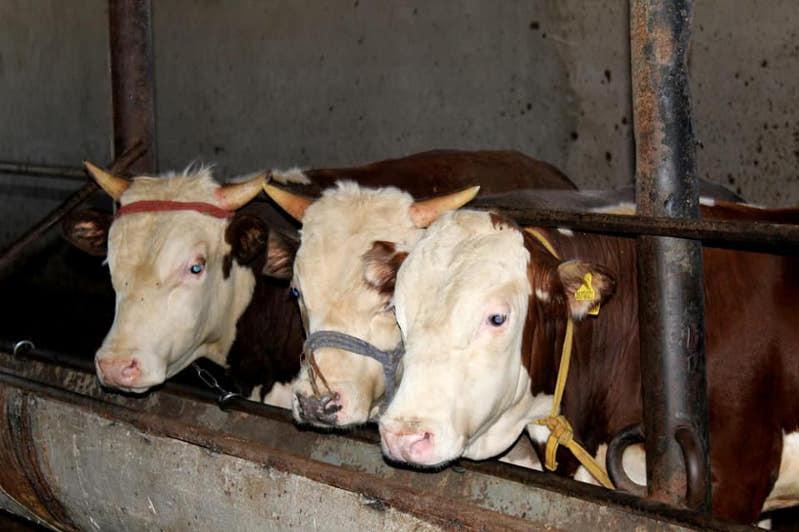 Более 11 тысяч тонн мяса произведено в Ордабасинском районе