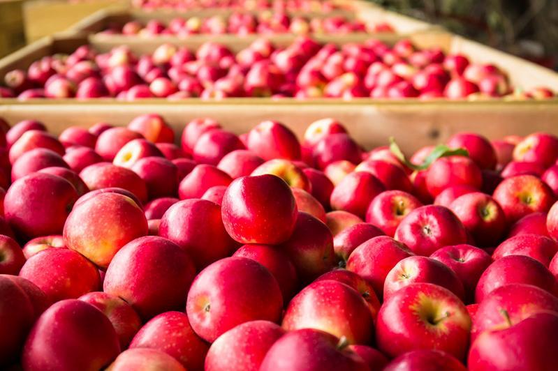 哈萨克斯坦苹果受到了俄罗斯居民的广泛欢迎