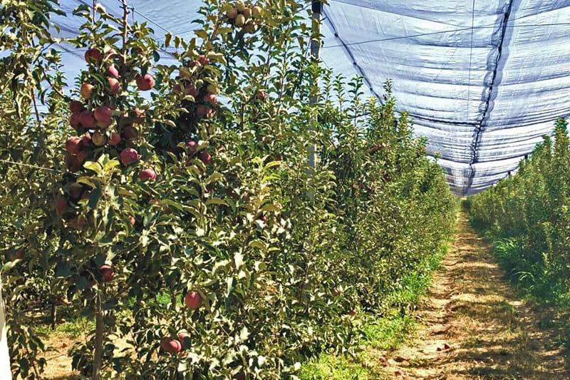 Яблоневые сады посадили на 100 га в Сайрамском районе Туркестанской области