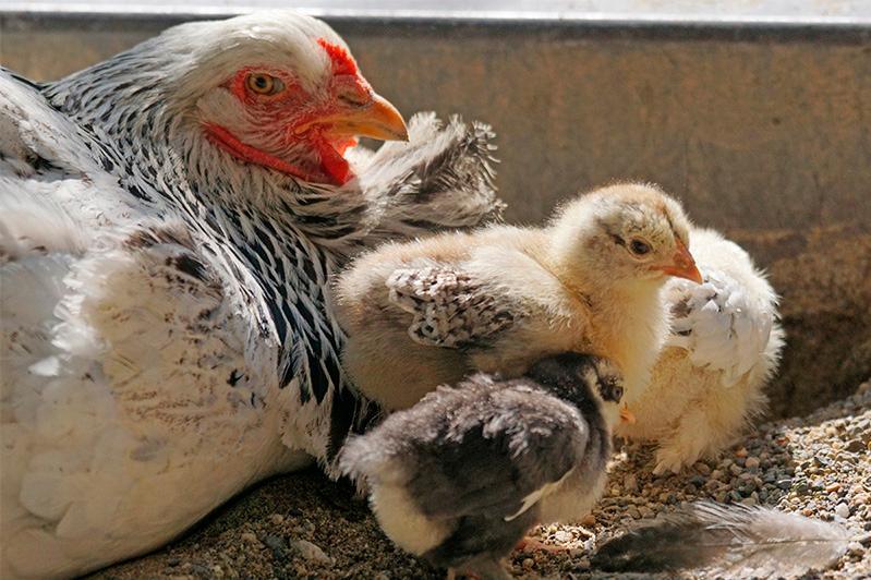 Владельцев незарегистрированных домашних птиц просят пройти регистрацию в Алматы