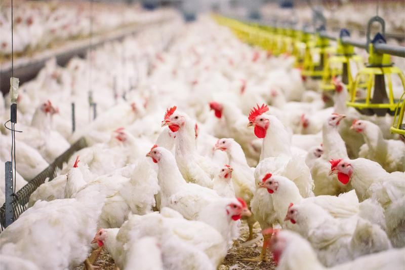 Bird flu: daily poultry deaths on the wane - agriculture officials
