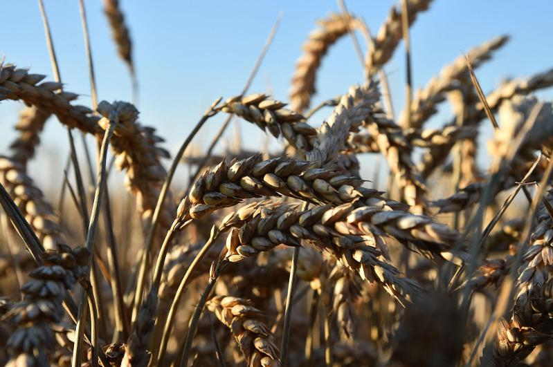 Pandemic boosts wheat's strategic importance