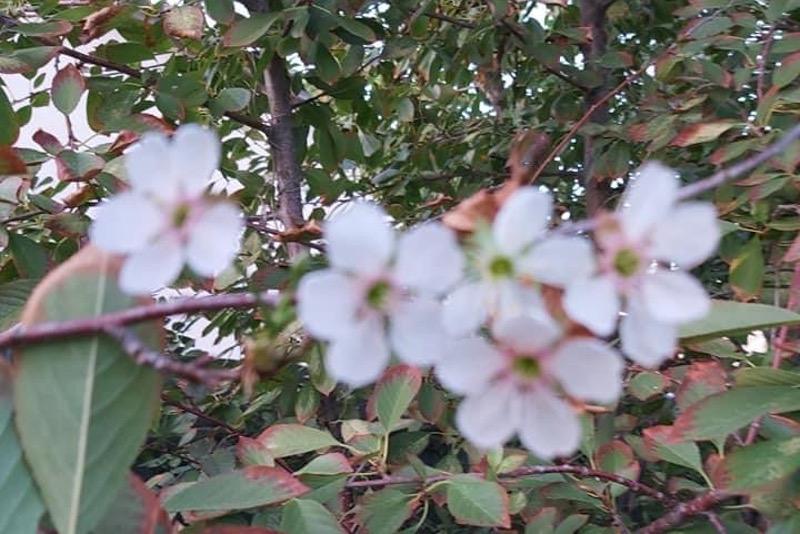 Сирень, яблони и груши зацвелив октябре в Атырау