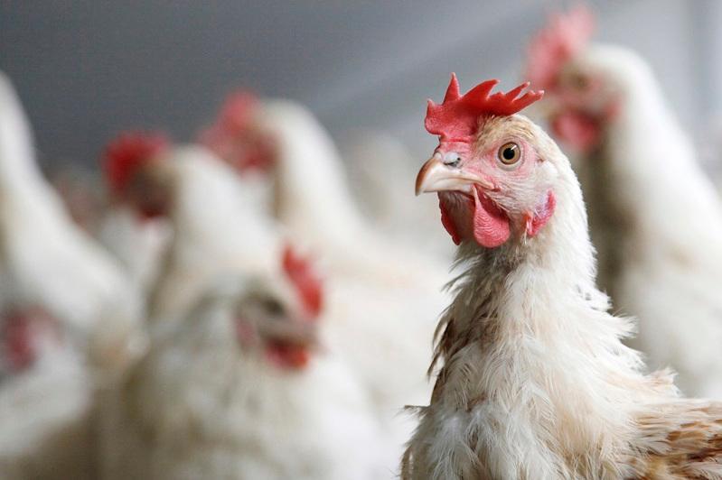Птичий грипп зафиксировали в ВКО