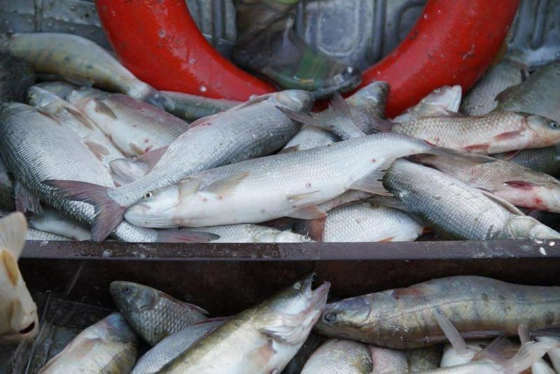 年初至今阿特劳州已出口约6000吨鱼类产品