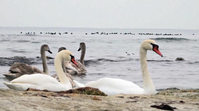 Стая лебедей приземлилась на озере Жаланашколь возле Алаколя
