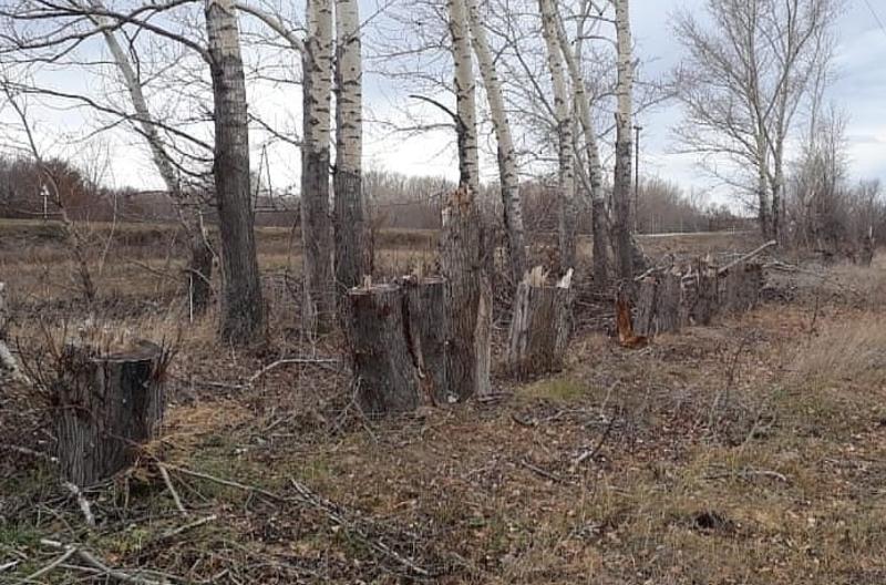 Свыше 300 деревьев вырубили неизвестные в ВКО