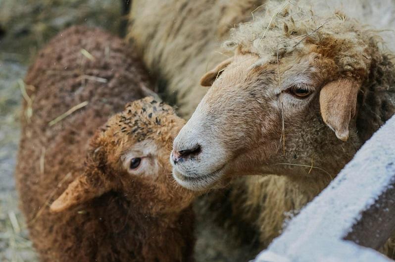 Мужчина незаконно вез 160 голов мелкого рогатого скотав Павлодарскую область