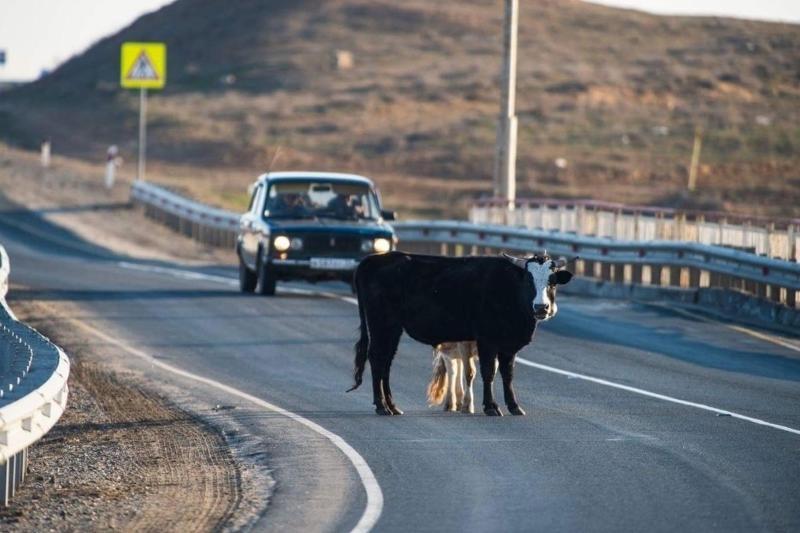 Около 40 ДТП из-за беспризорного скота произошло в Акмолинской области