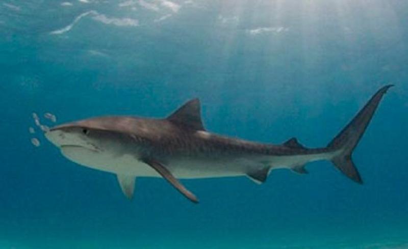 Акула напала на пловца на побережье Австралии: мужчина погиб от укусов
