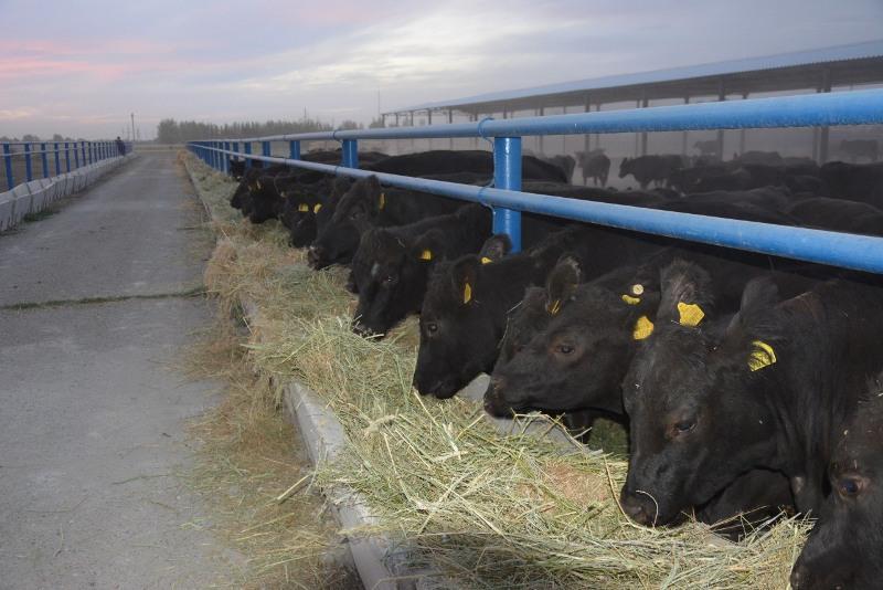Пять тысяч голов крупного рогатого скота закупят по программе «Сыбаға» в Жамбылской области