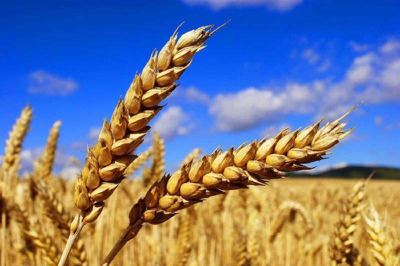阿克莫拉州今年收获的谷物质量明显提升