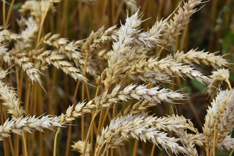 Акмолинская область производит 25% зерна в республике