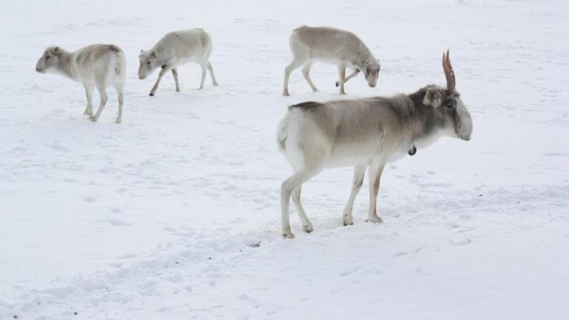 Контроль за сайгаками усилили в Карагандинской области