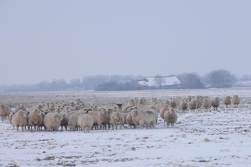 Пастуха с отарой из 600 овец спасли из снежного плена жамбылские полицейские