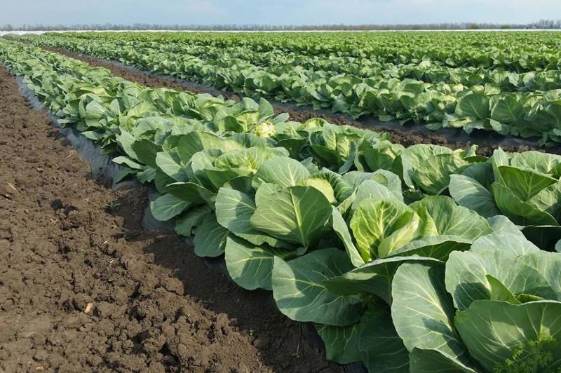 Объем произведенной сельхозпродукции вырос в Сарыагашском районе