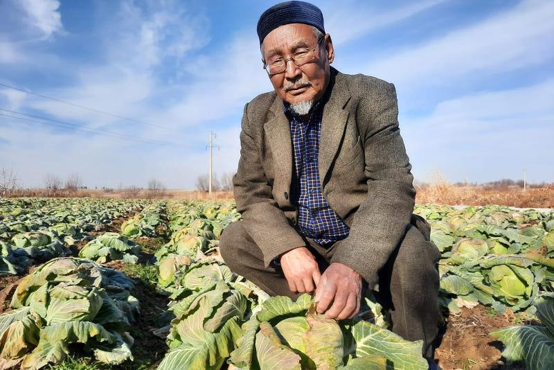Три урожая в год получают аграрии Келесского района