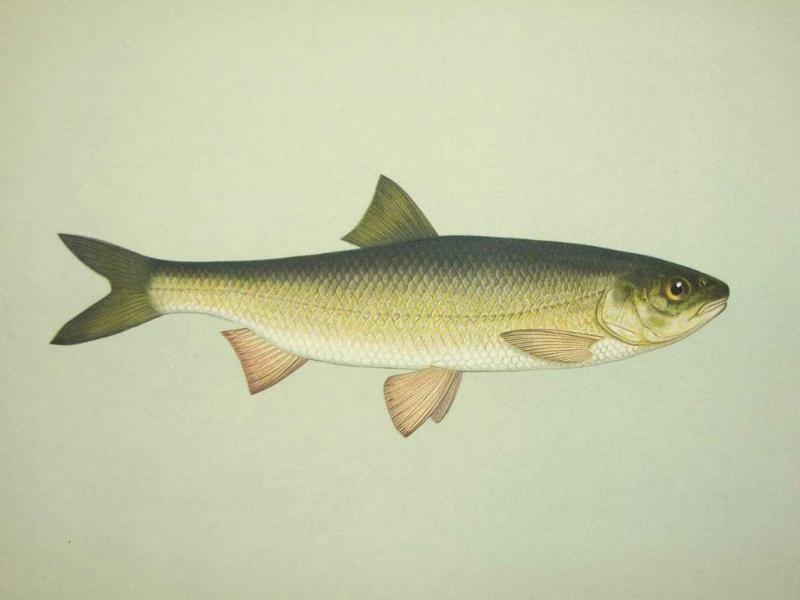 Редкая рыба появилась в Урале в Атырау