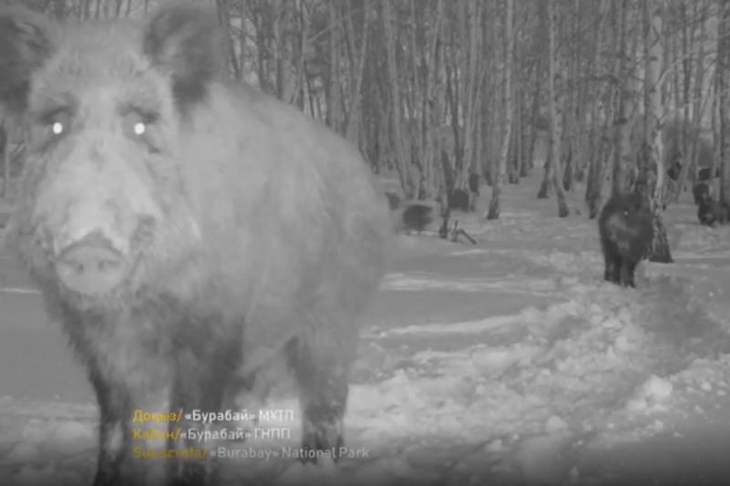 Стадо диких кабанов попало в объектив фотоловушки в нацпарке «Бурабай»