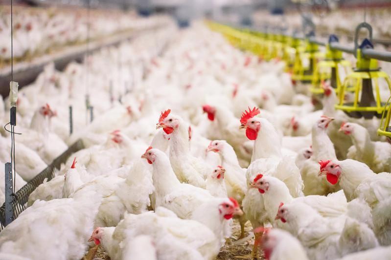 1,2 млн голов птиц завезут на фермы в СКО