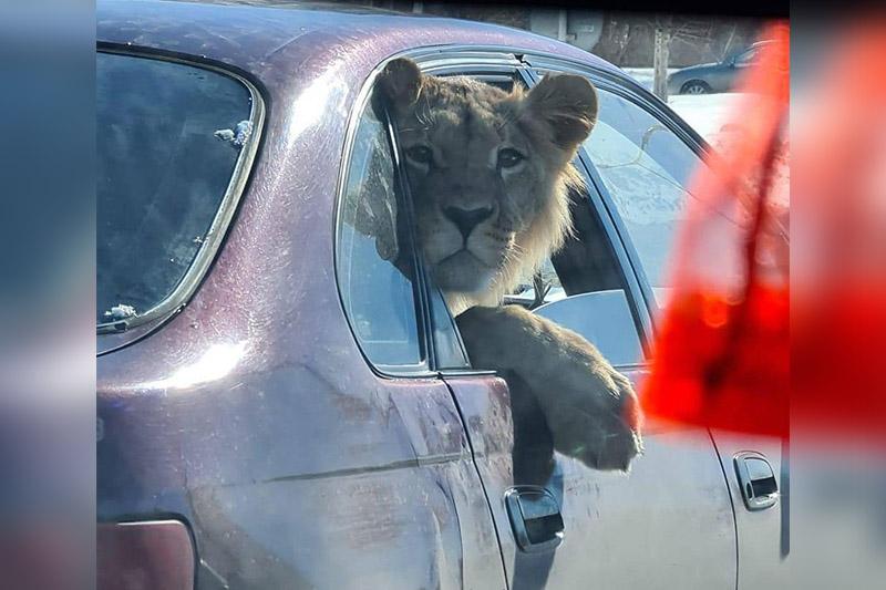 Экология министрлігі Қарағандыдағы «жолаушы» арыстан жөнінде пікір білдірді