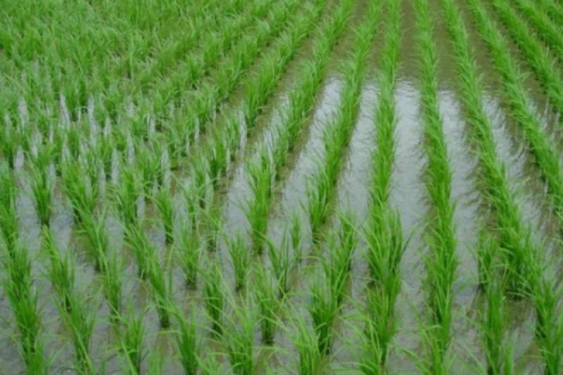 克孜勒奥尔达州采用日本技术试种水稻