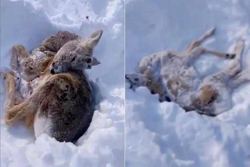 Почему гибнут косули в Северо-Казахстанской области