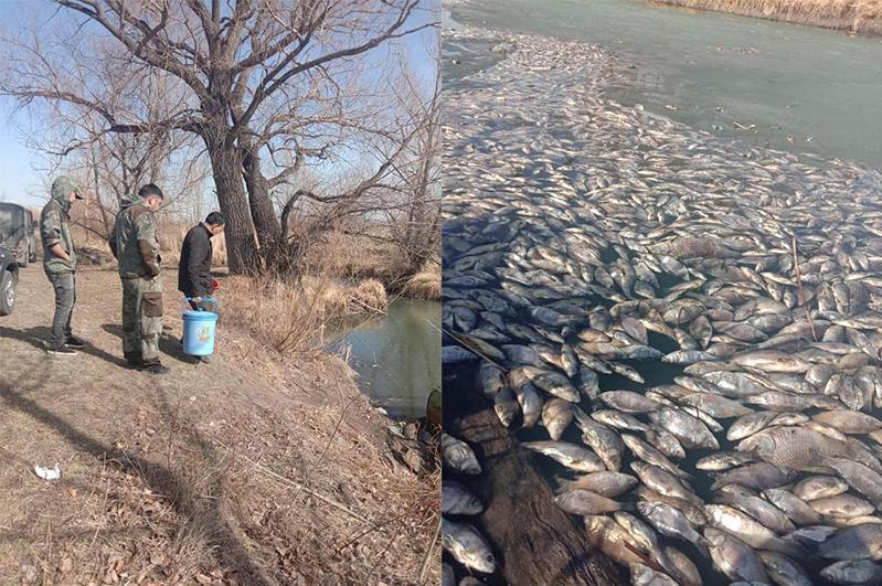 Павлодар облысындағы Қарасу өзенінде балық қырылды