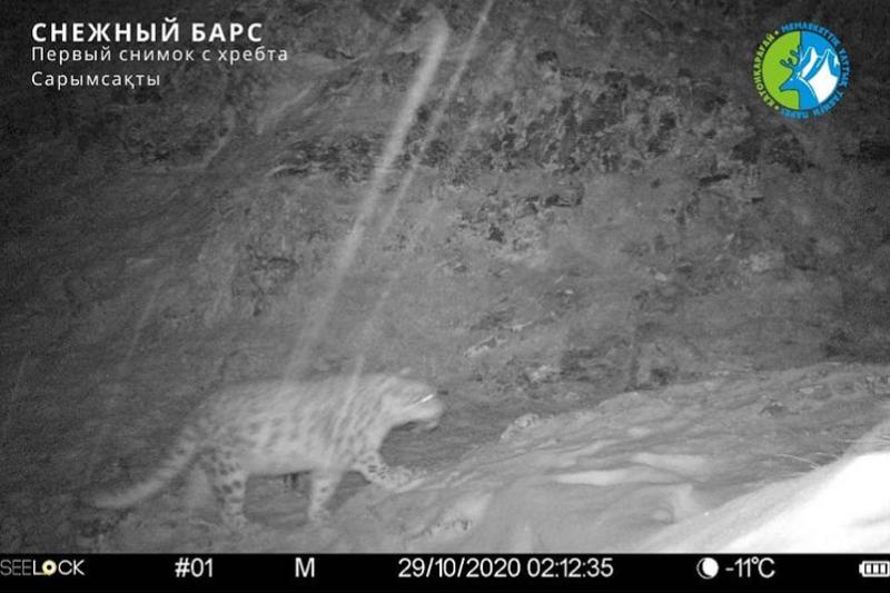 Катонқарағайдың Сарымсақты жотасында қар барысы алғаш рет фототұзаққа түсті