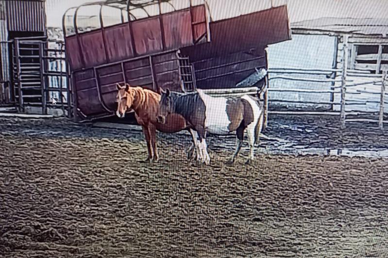 Участковый в Костанайской области вернул пропавших лошадей