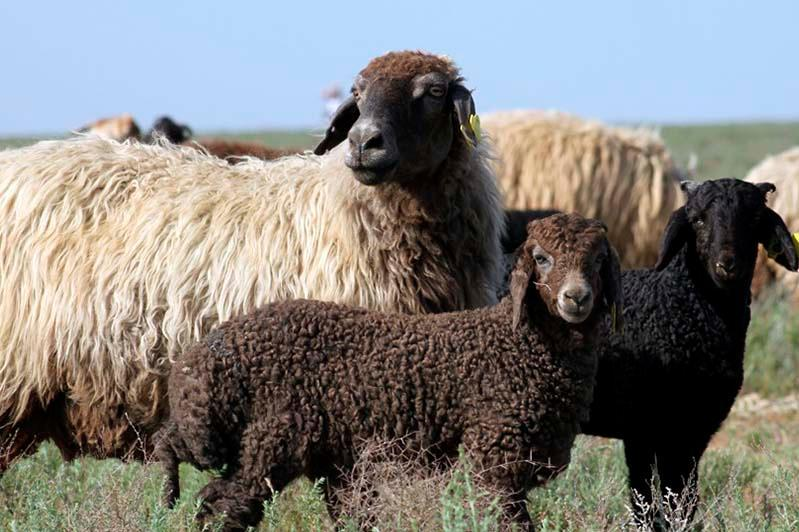 Пастух украл отару овец на 6 млн тенге